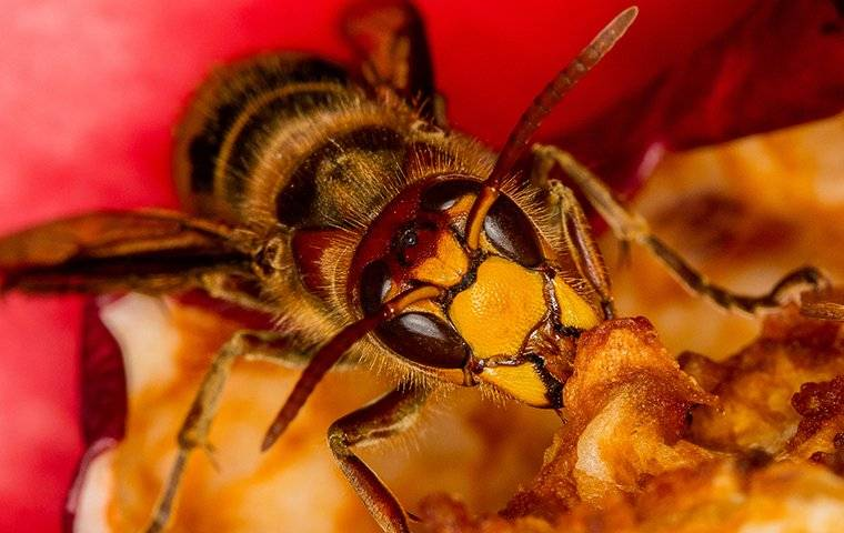 a wasp eating fruit
