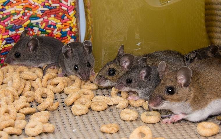 house mice eating food in a pantry