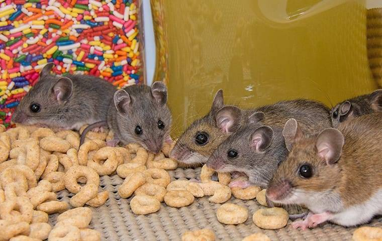 a group of house mice eating cereal