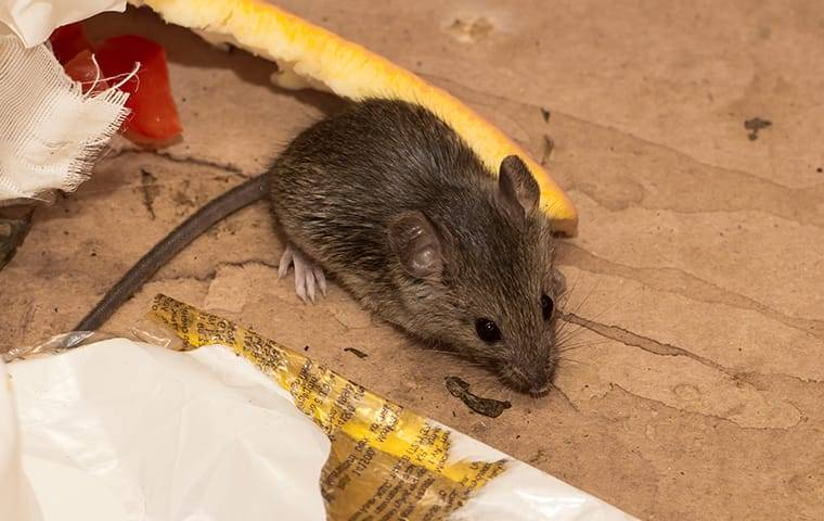 house mouse in the garbage can eating