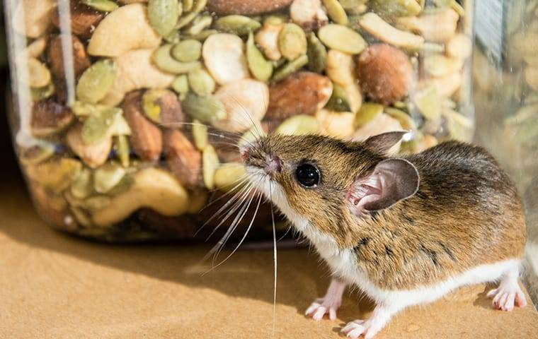 house mouse attempting to eat in a pantry