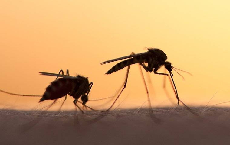 two mosquitoes biting skin