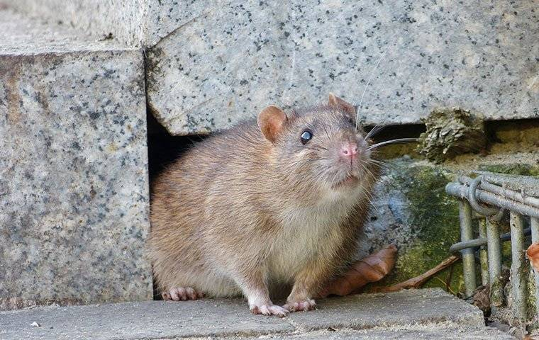 rat crawling near home foundation