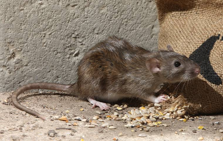 a rat in the basement of a home