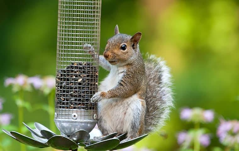 a squirrel sitting and hanging on to a bird feeder