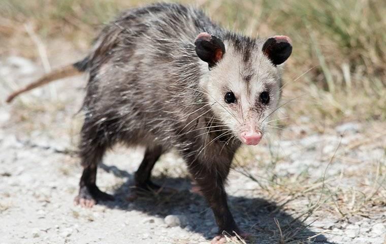 an opossum walking in a driveway