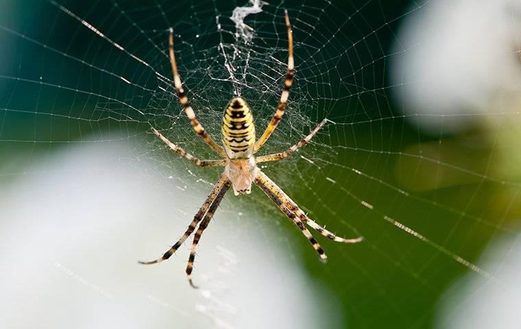 orb weaver spider in web