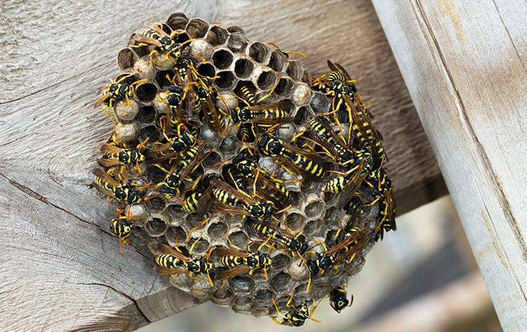 paper wasp nest on picnic table