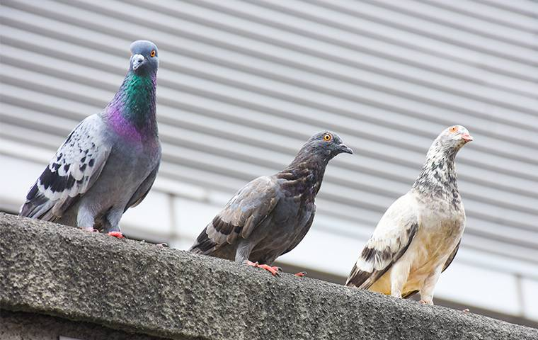 three pigeons on a ledge