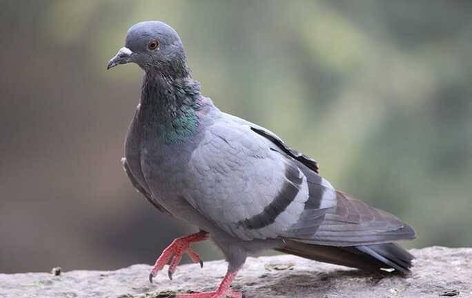 pigeon walking on rocky ground