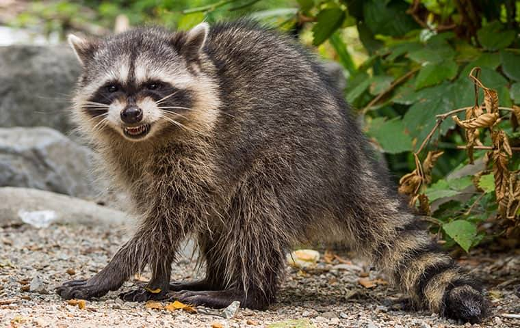 raccoon outside of a house in bushes