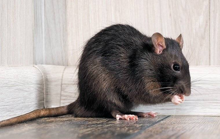 Rat Eating Food In A Home