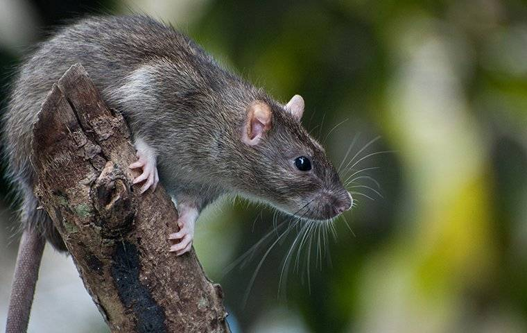 rat on branch outside home