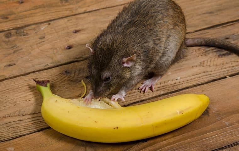 a rat eating a banana inside a home