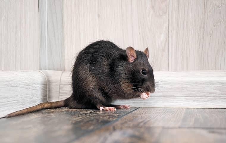 rat in house near baseboards