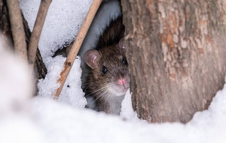rodent peeking out in snow