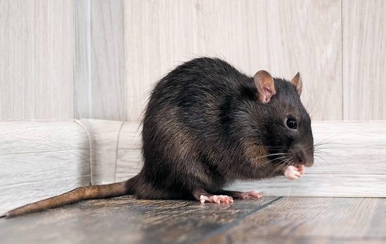 rat inside house near baseboards eating