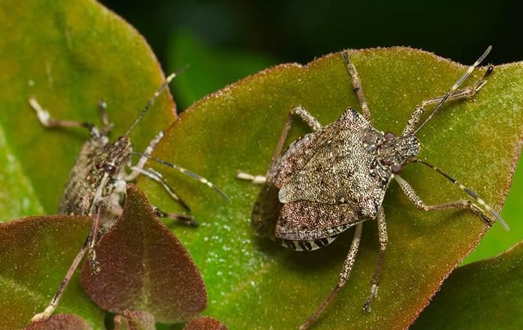 stink bug on leaf in garden