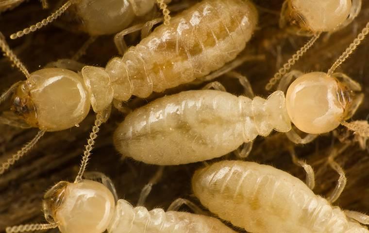 Subterranean Termites Destroying Wood