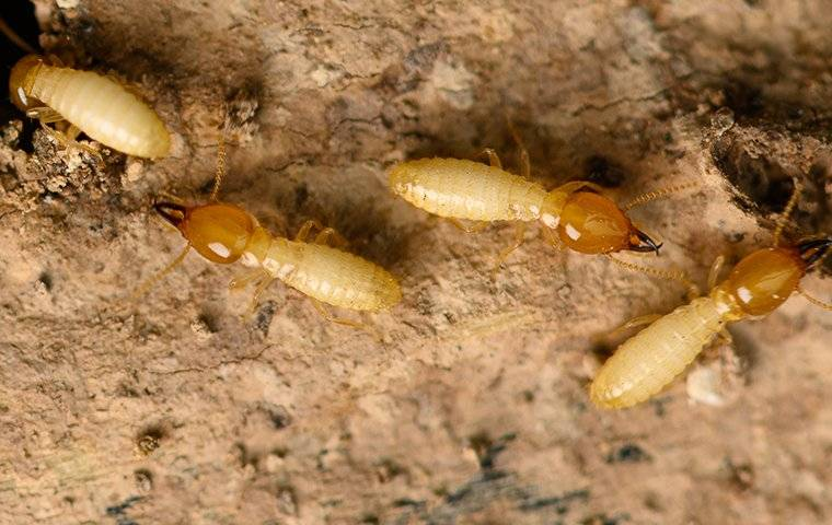 termite infestations in a wall