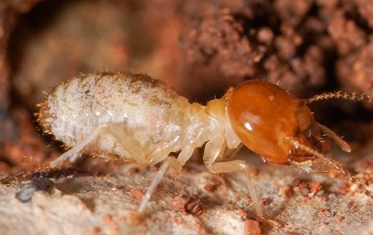 termite closeup crawling on wood
