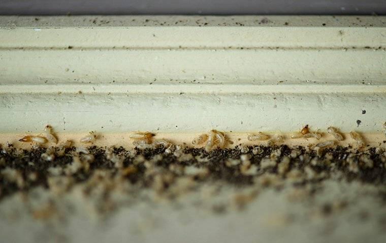 termite infestation on wood trim of window