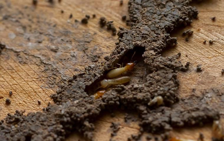 termites in a mud tube