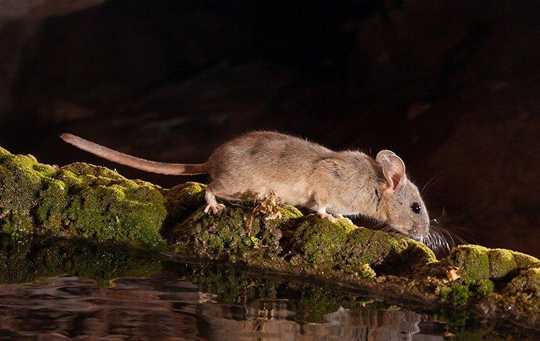 rat outside a home