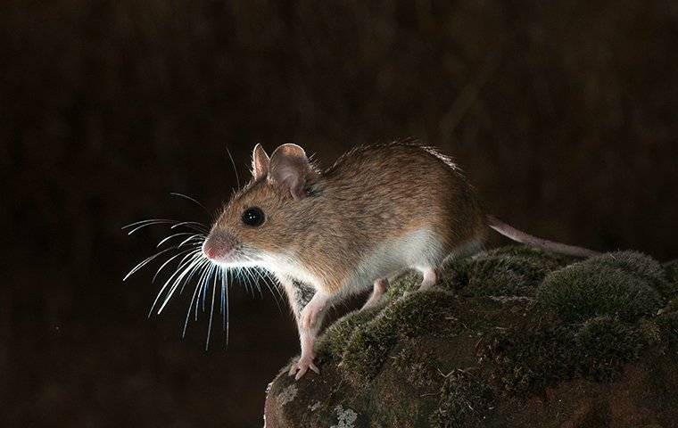 a small field mouse sitting on a rock