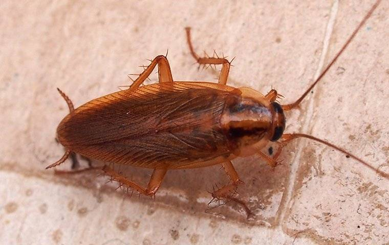 a german cockroach crawling in a kitchen