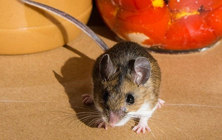 house mouse in kitchen