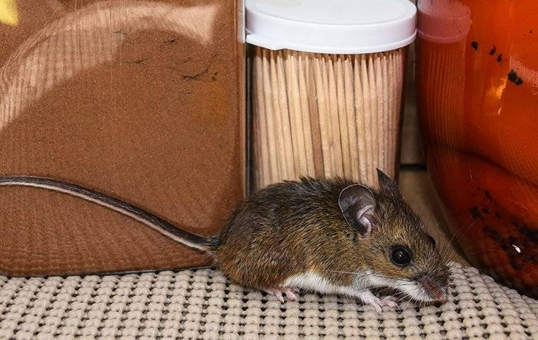 a house mouse in a brick new jersey kitchen pantry