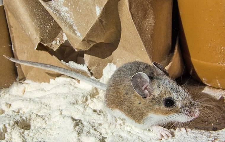 mouse contaminating flour