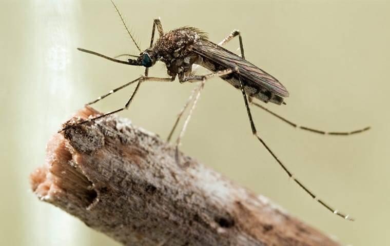mosquito crawling in garden