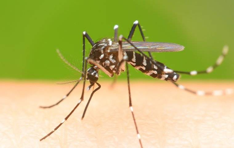a mosquito that landed on a humans leg