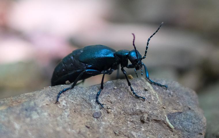 an american oil beetle