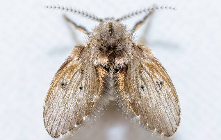 close up of drain fly
