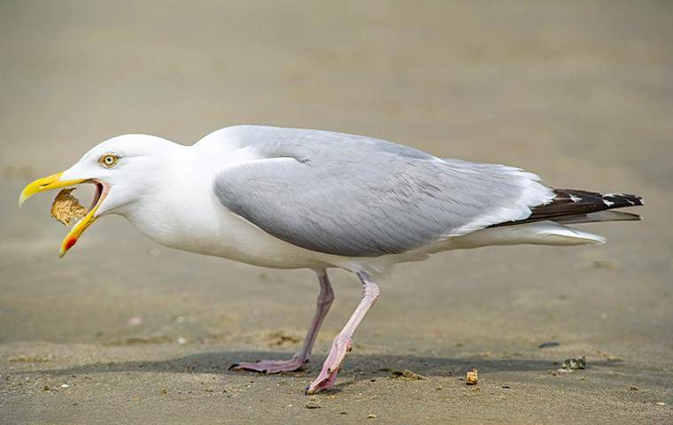 seagull with food in mouth