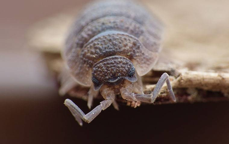 close up of a sow bug
