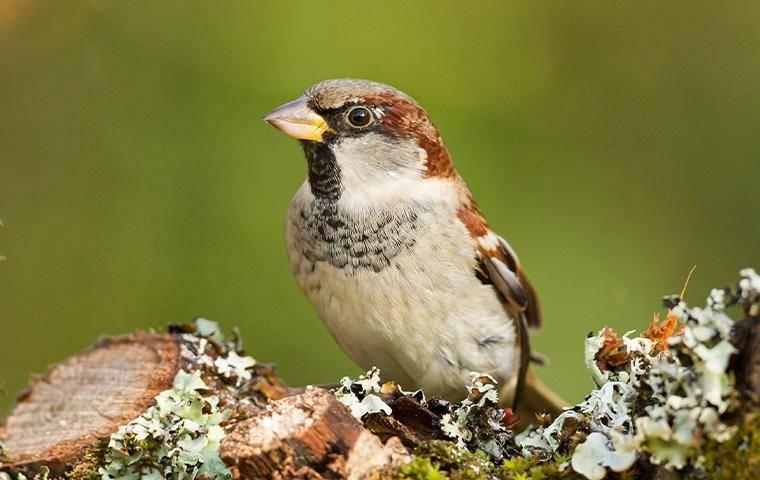 a small sparrow