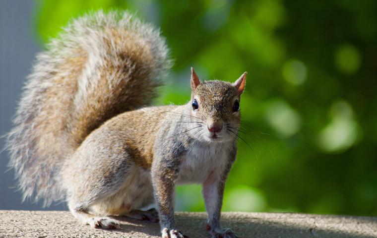 a brown squirrel