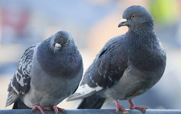 two pigeons on roof