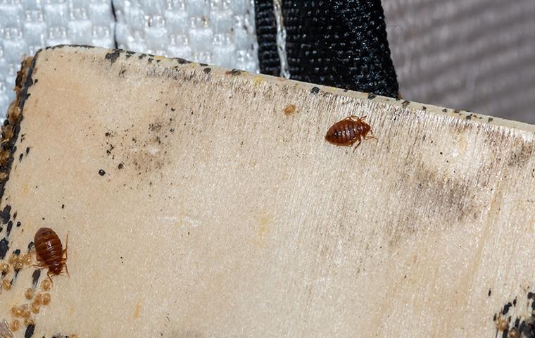 bedbugs on bed frame