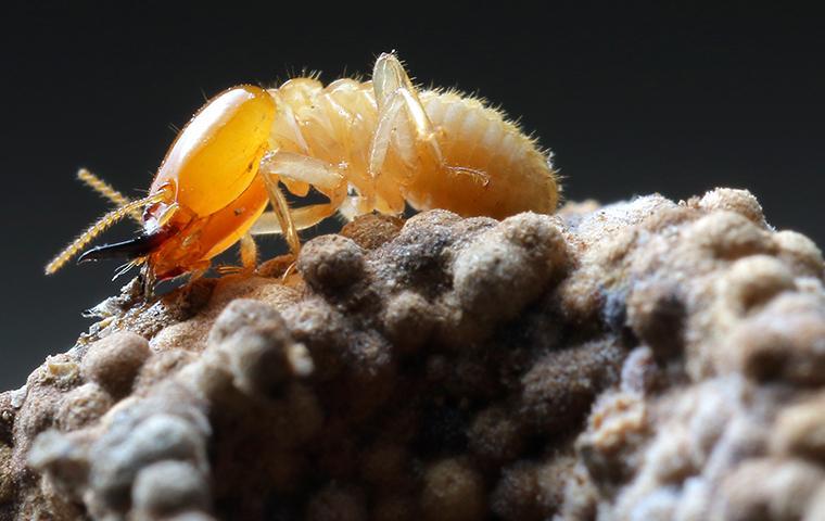 termite on mound