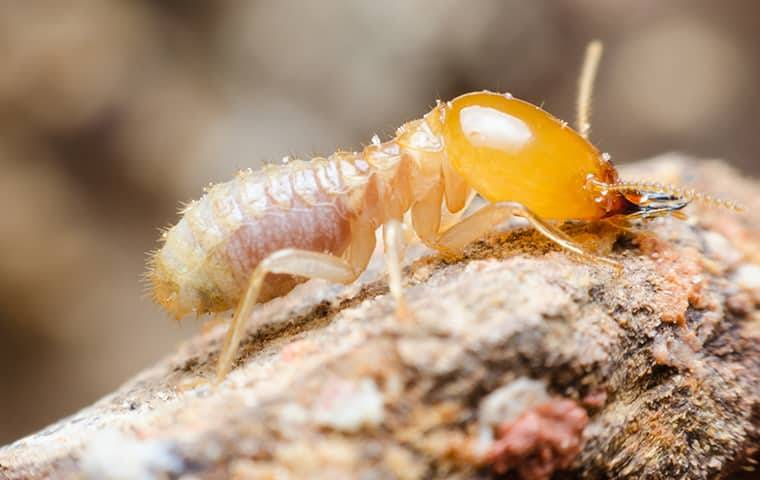 close up of termite crawling on wood