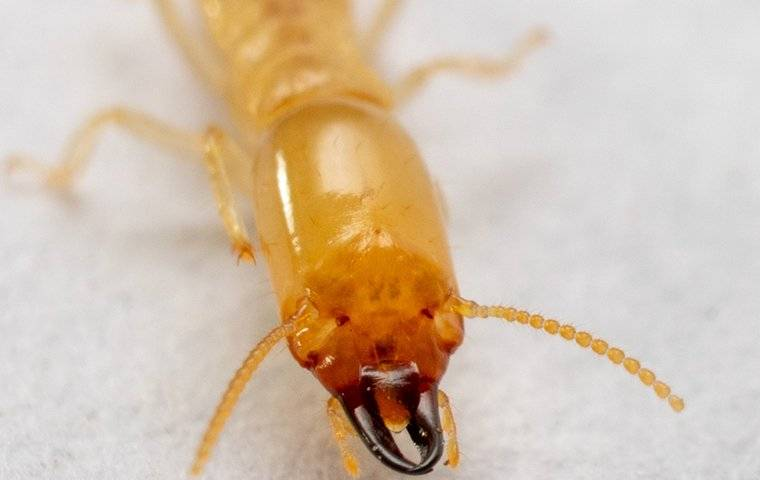 face of a termite