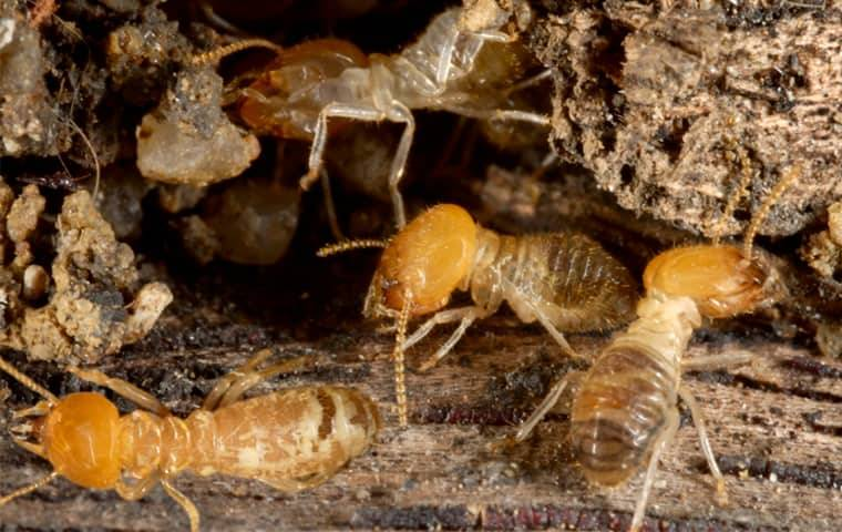termites eating wood in a brick new jersey home