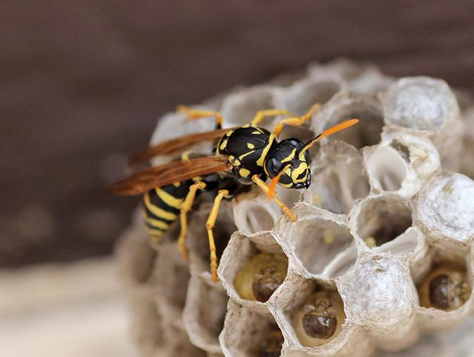 hornets nest swarming with stinging insects