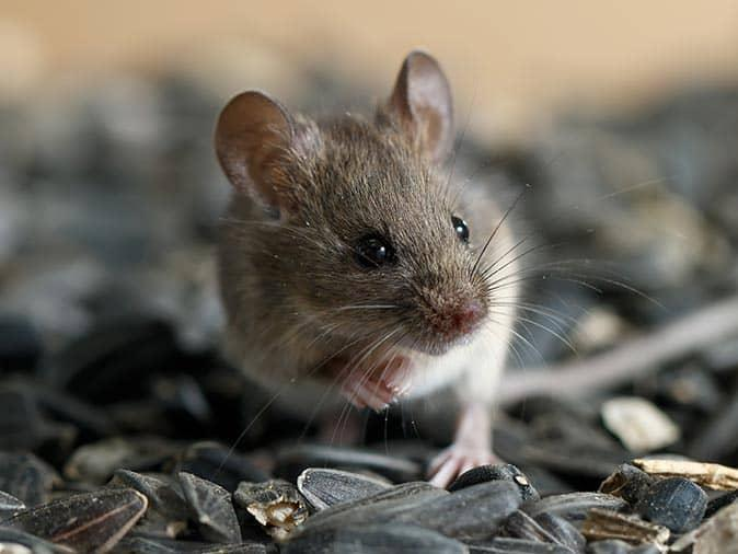 house mouse on a bed of sunflower seeds