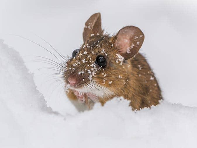 house mouse out in the snow